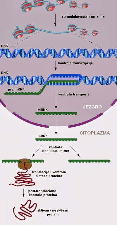 http://2.bp.blogspot.com/-lRg_b5vkZts/UyPT4uGmsAI/AAAAAAAABHo/_9dafLvrIV4/s1600/epigenetika-regulacija-gena.jpg
