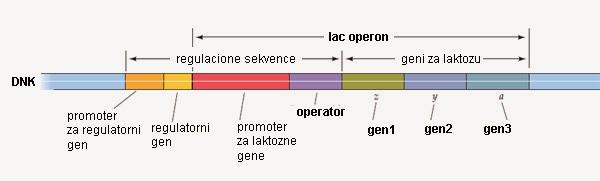 http://1.bp.blogspot.com/-iB8qFpba9V4/UyPUWVndXwI/AAAAAAAABHw/8xqTRZJFmko/s1600/operon-lac-strukturni-geni-dnk.jpg