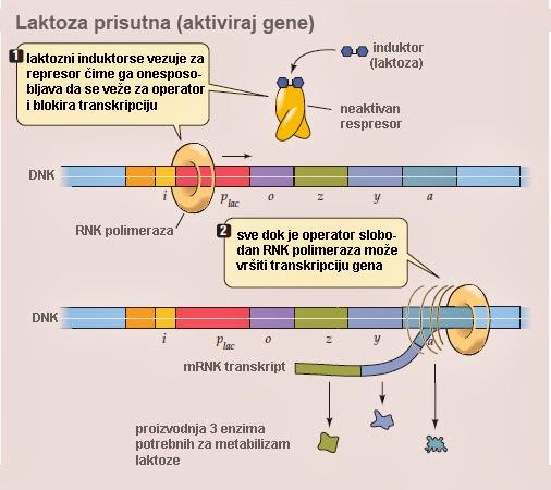 http://4.bp.blogspot.com/-nrieh7CApnQ/UyPUvdi_3gI/AAAAAAAABH8/vH_ZATwaxT0/s1600/operon-lac_regulacija-gena-laktoza-prisutna.jpg