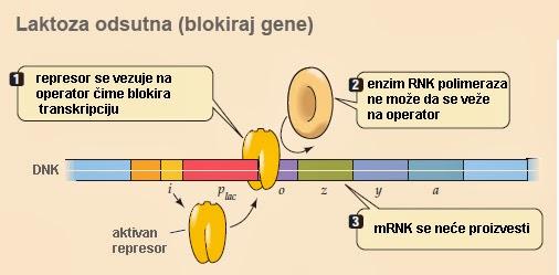 http://2.bp.blogspot.com/-kyys3hHPifQ/UyMIW7n58ZI/AAAAAAAABHY/ydO0LunY5a0/s1600/homeobox-geni-izgradnja-tela-genetika-drosophila.png