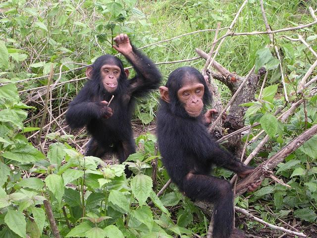 http://2.bp.blogspot.com/-z_BAxgVkskk/UC5bBFBKOZI/AAAAAAAAAR0/Zzel70NynIU/s640/chimps.jpg
